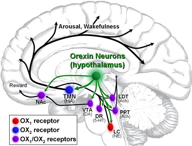 oreksin-v-mozge
