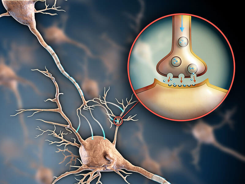 serotonin-v-mozge