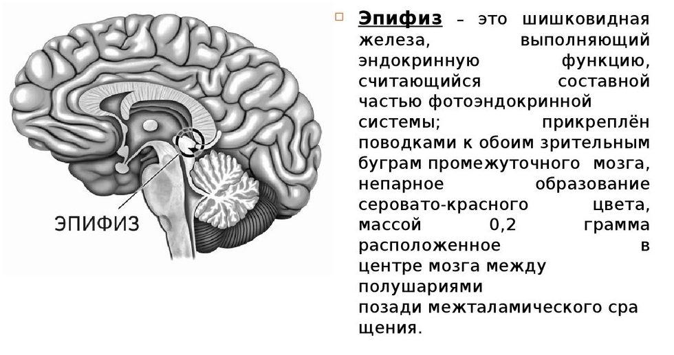 epifiz-mozga